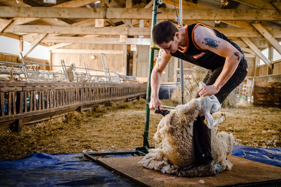 Métier-Artisanat-Tonte-Mouton-Laine-Savoir-Faire-Français