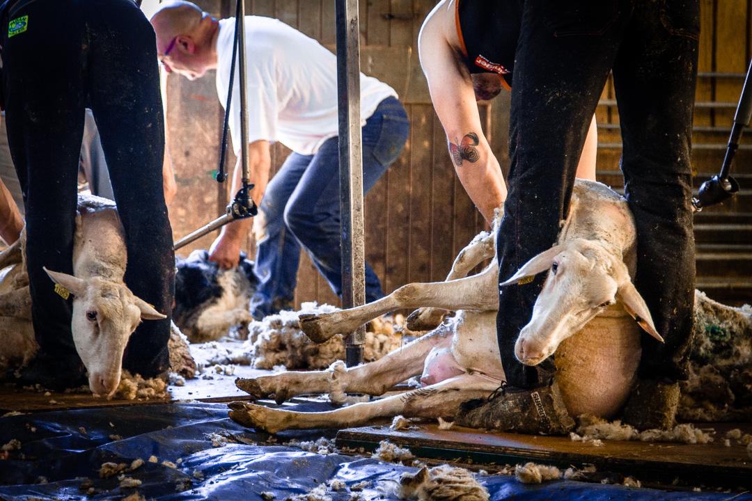 Savoir-Faire-Français-Métier-Artisanat-Laine-Tonte-Mouton