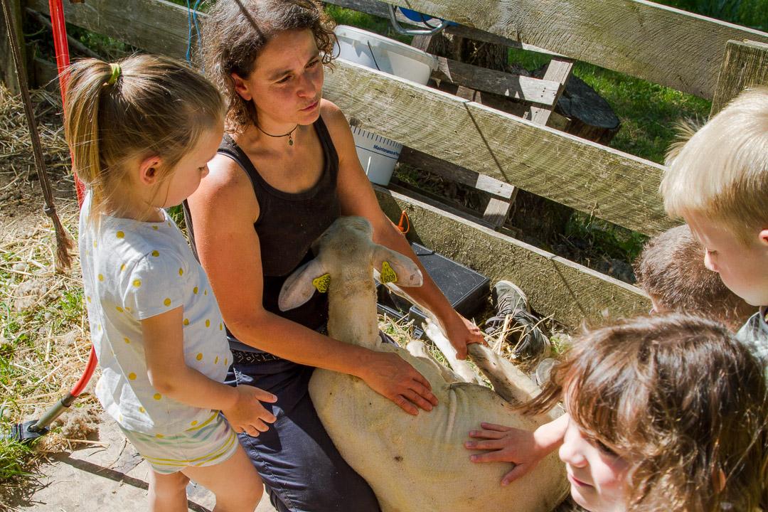 Comment-Tondre-Mouton-Laine-Famille-Ardelaine