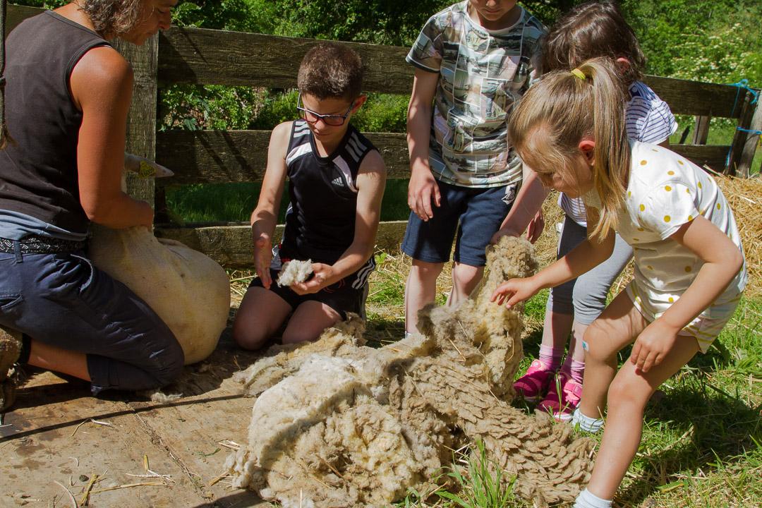 Démonstration-Tonte-Mouton-Laine-Famille-Ardelaine